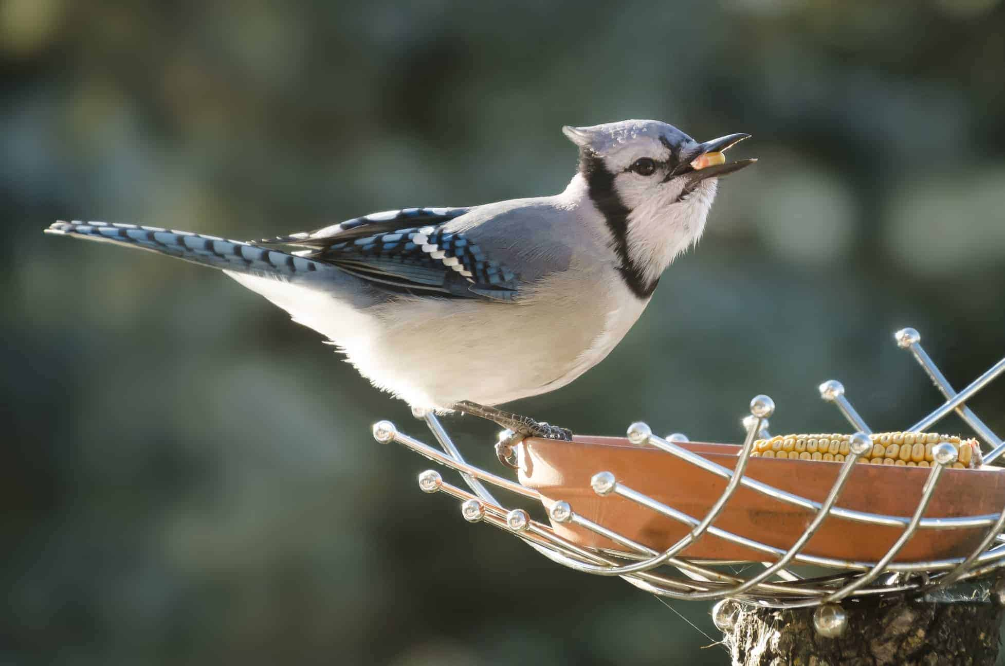 How to Attract Blue Jays to your Yard? - Wild Bird World