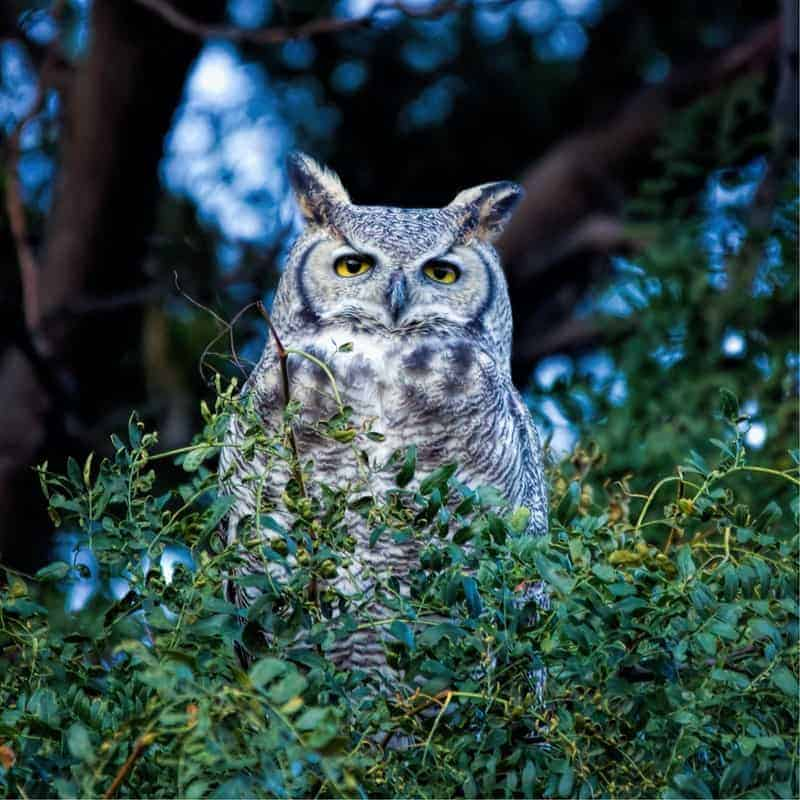 great horned owl in florida