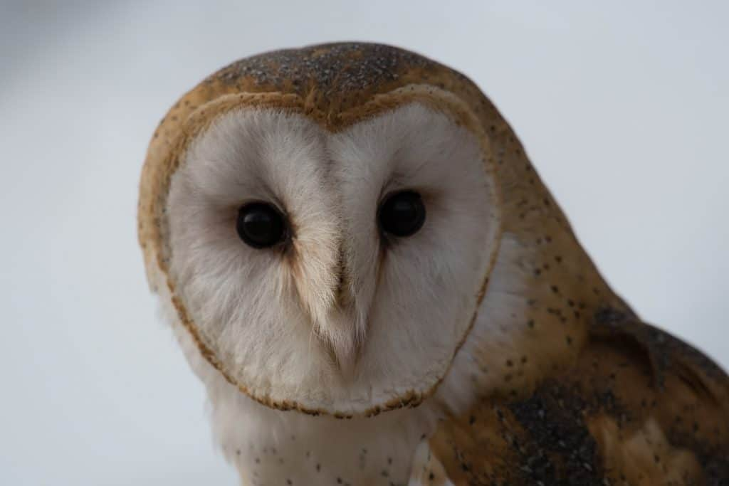 barn owl in florida