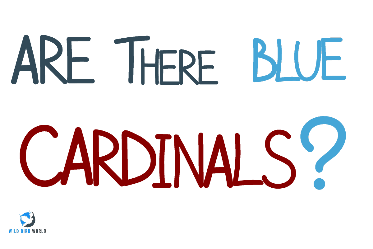 are there blue cardinals