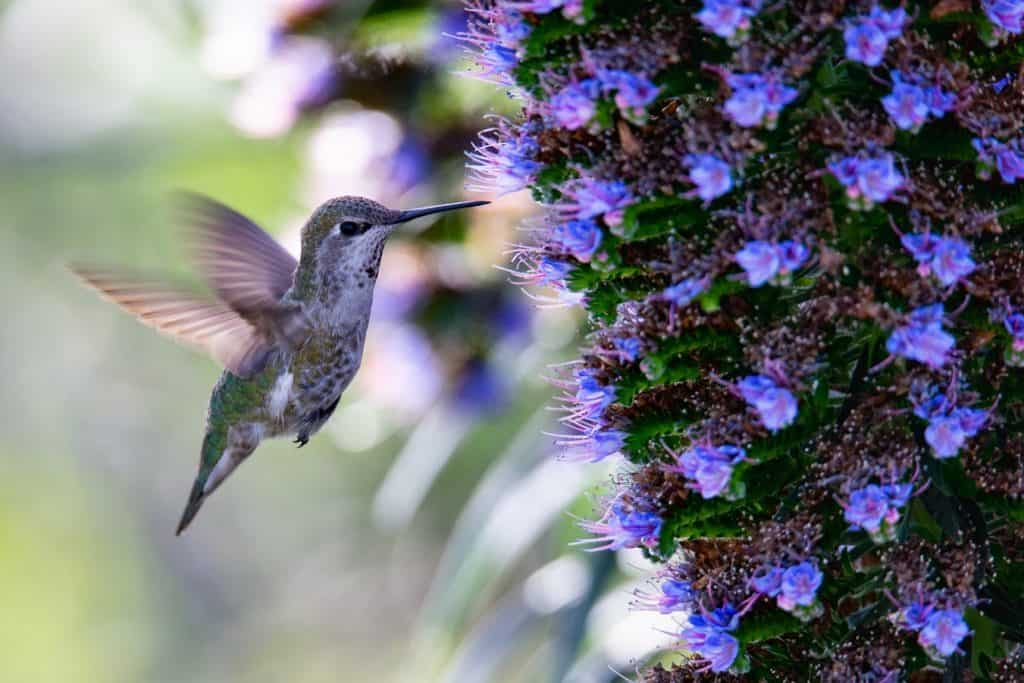hummingbirds of california