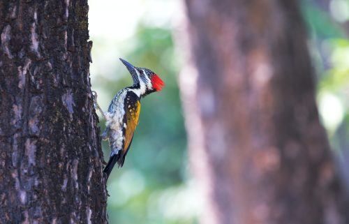 woodpeckers in Georgia