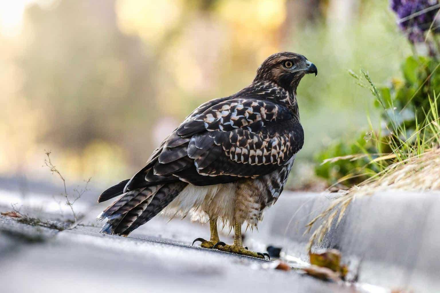 hawks in indiana