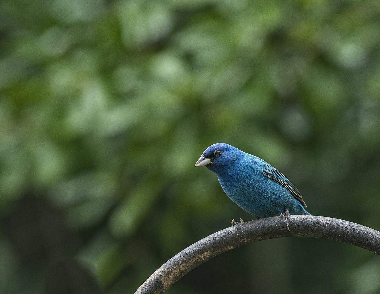 North American Bird with Blue Bellies