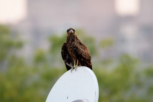 Hawks in New Mexico