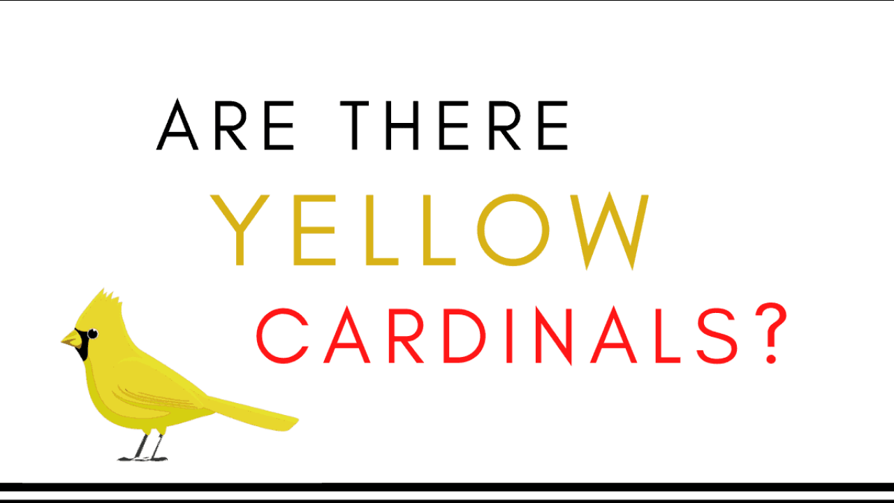 are there yellow cardinals?