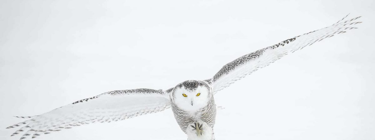 owls in maine