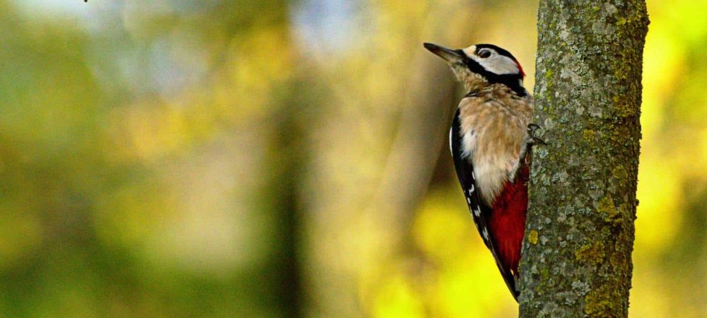 Woodpeckers of California