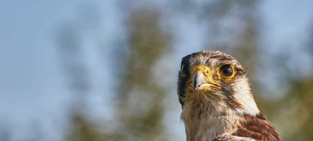 Hawks of Delaware
