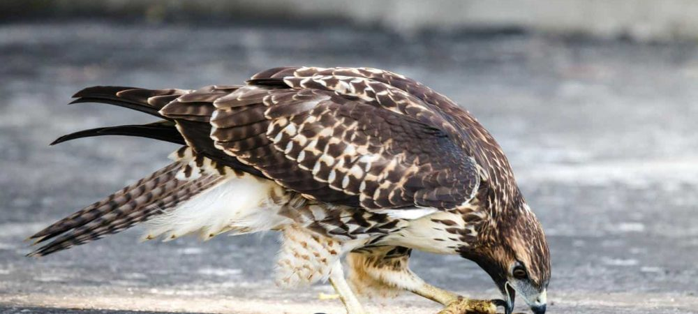 hawks in Connecticut